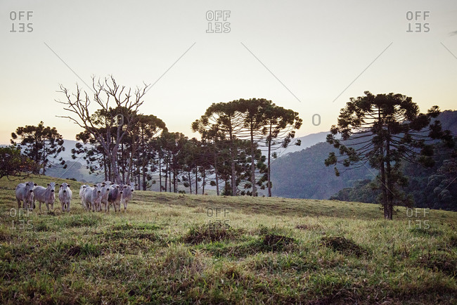 Cattle herd in a field in Minas Gerais, Brazil