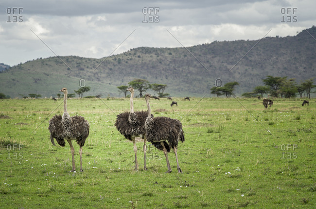 Three ostriches in Tanzania