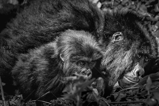 Mountain gorilla and baby of the Virunga National Park, Rwanda