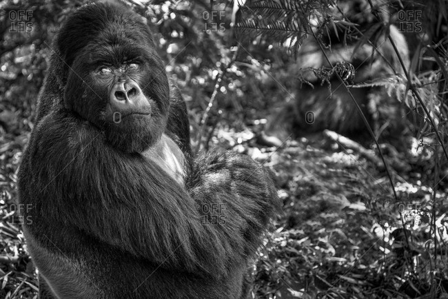 Mountain gorilla of the Virunga National Park, Rwanda