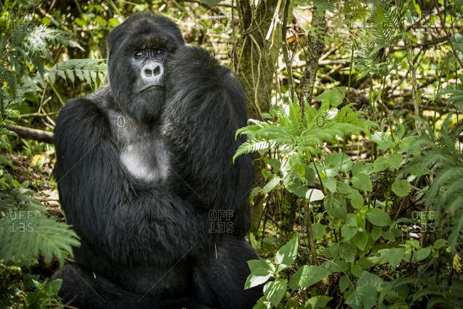 Mountain gorilla of the Virunga National Park, Rwanda