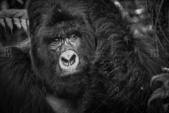 Portrait of a Mountain gorilla of the Virunga National Park, Rwanda