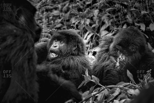 Mountain gorilla family in Virunga National Park, Rwanda