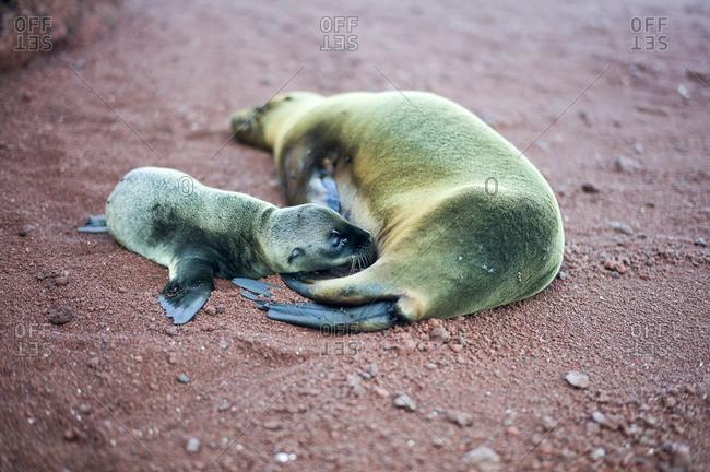 Fur seal mother and suckling seal pup Rabida Island, Galapagos