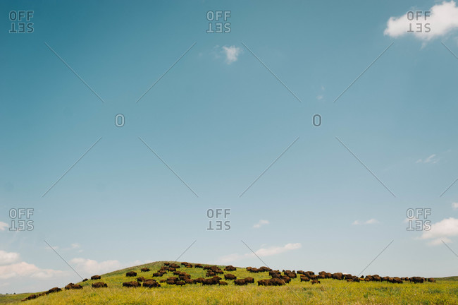 Buffalo grazing on a grassy field in the countryside