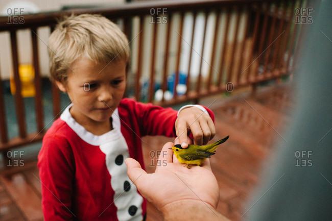 Boy petting a Wilson's warbler bird