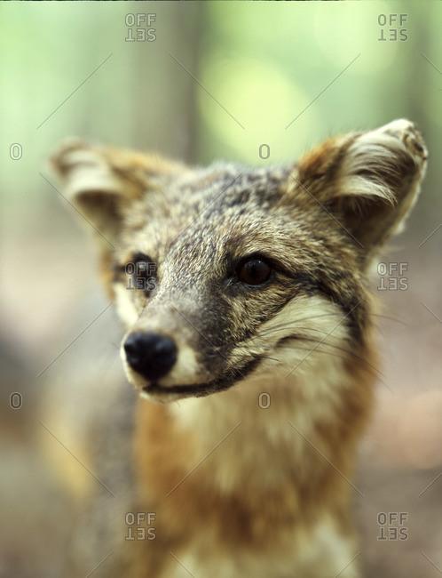 Close up of a gray fox