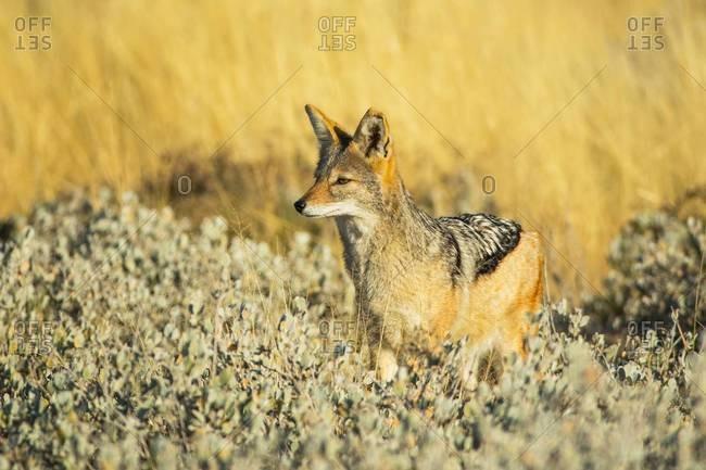 Watchful black-backed jackal in Etosha National Park, Namibia