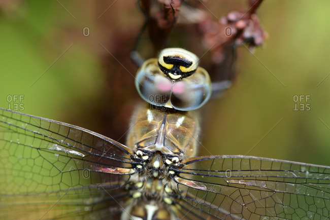 Head of Migrant Hawker, Aeshna mixta
