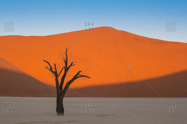 View of a Camelthrorn tree at Deadvlei in the Namib-Naukluft National Park, Namibia