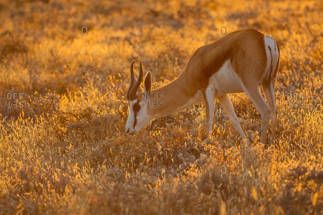 Springbok grazing in the field in Etosha National Park, Namibia