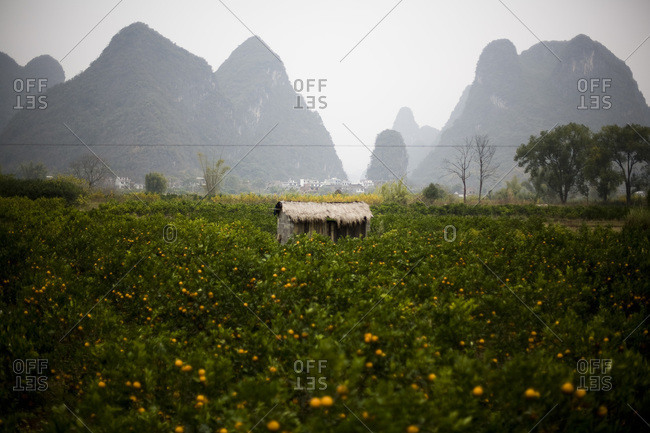 Field of mandarin oranges in Guilin, China