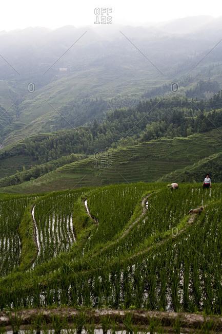 longshengtitian, CHINA - July 12, 2008: People working in rice terraces in Longsheng, China