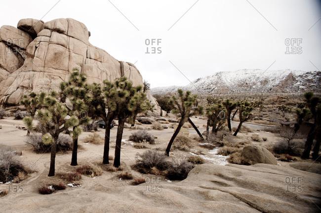 Yucca trees in Joshua Tree National Park, California, USA