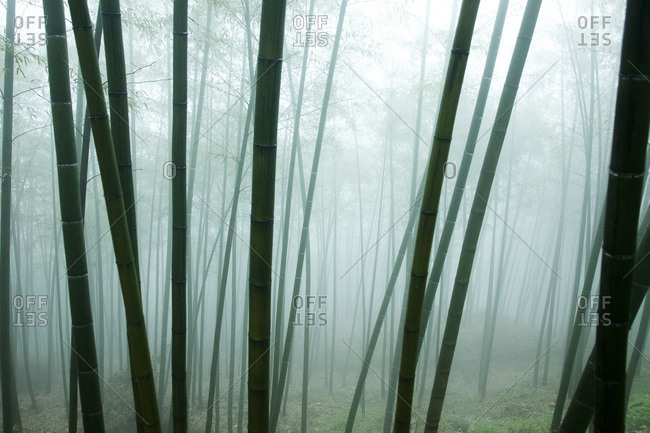 Foggy bamboo forest in Moganshan, China