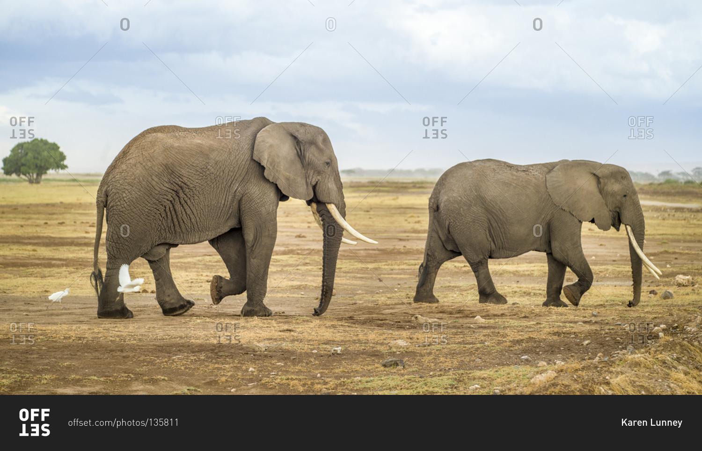 african elephants walking in amboseli national park kenya