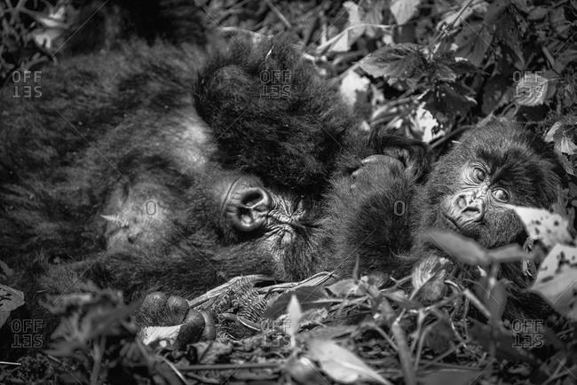 Female mountain gorilla and baby in the Virunga National Park, Rwanda