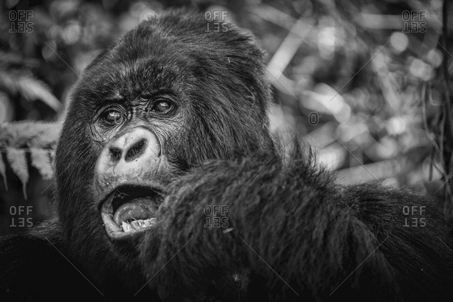 Close up of a young mountain gorilla in the Virunga National Park, Rwanda