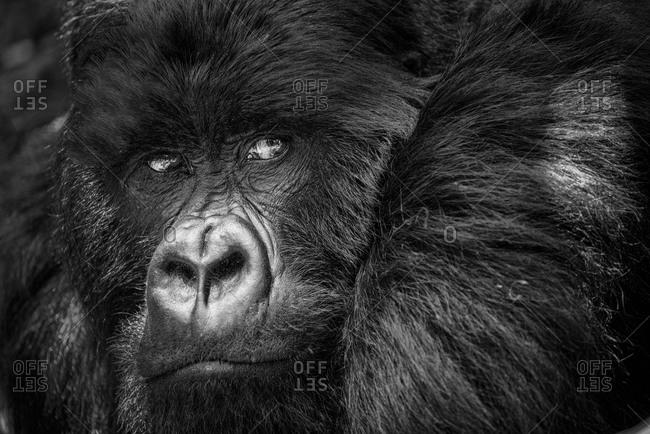 Close up of a mountain gorilla in the Virunga National Park, Rwanda
