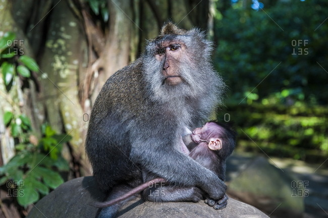 Crab-eating macaque (Macaca fascicularis) mother with baby
