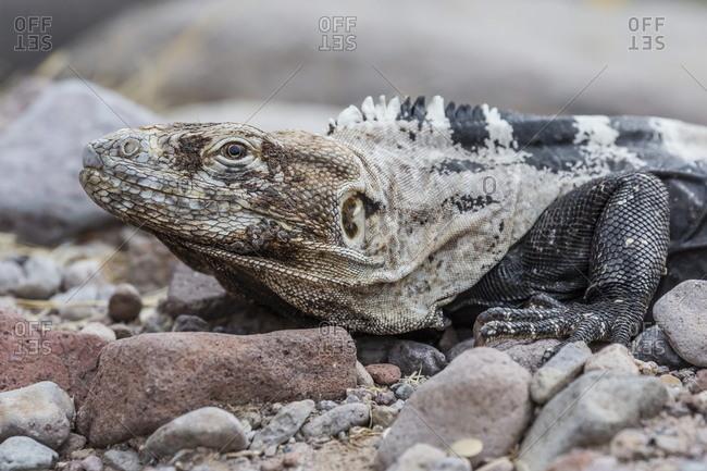 Adult Isla San Esteban spiny-tailed iguana (Ctenosaura conspicuosa) basking in the sun on Isla San Esteban