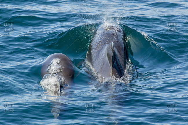 Short-finned pilot whale (Globicephala macrorhynchus) cow and calf surfacing off Isla San Marcos