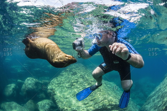 Curious young California sea lion (Zalophus californianus) with snorkeler underwater at Los Islotes