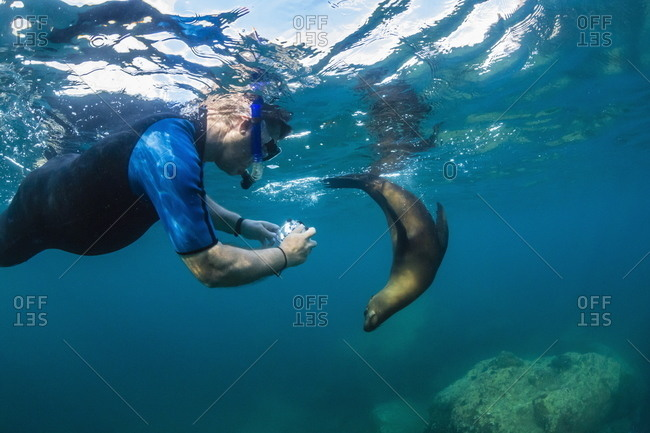 Young California sea lion (Zalophus californianus) with snorkeler underwater at Los Islotes