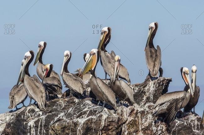 Brown pelicans (Pelecanus occidentalis) in breeding plumage at Isla Rasita