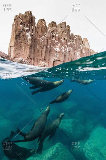 California sea lions (Zalophus californianus) underwater at Los Islotes