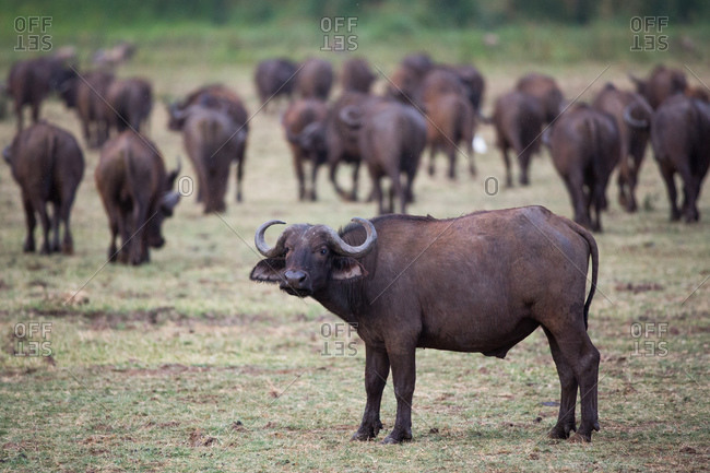 African buffalo herd in Lake Manyara National Park, Tanzania
