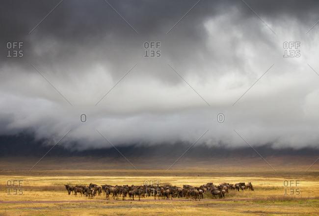 Blue Wildebeest herd beneath stormy skies in Ngorongoro Conservation Area, Tanzania