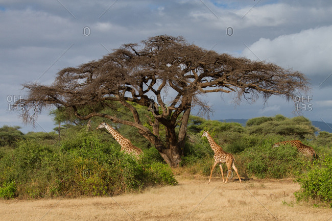 Masai giraffes at Lake Manyara National Park, Tanzania