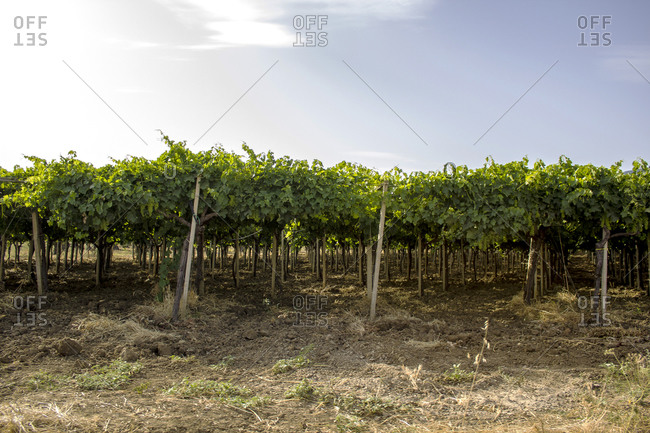 View of growing grapevines in a vineyard