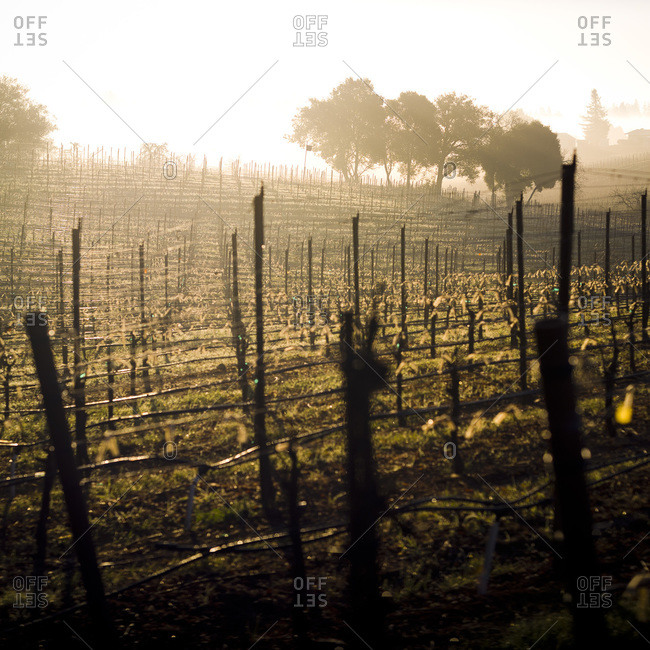Pinot noir vineyard in Sonoma County, a famous wine region in California