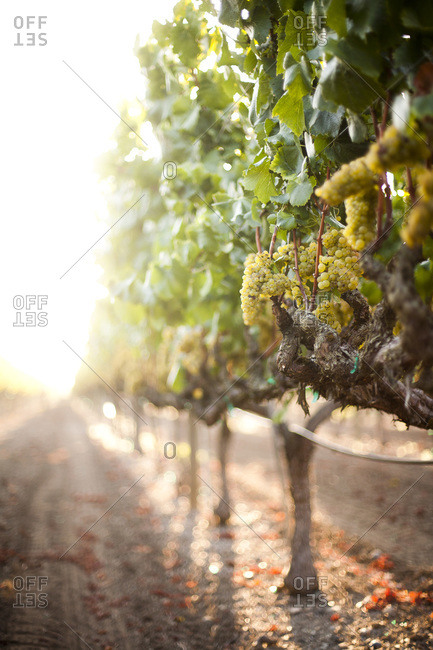 Chardonnay grapevines in a vineyard in Sonoma County, California