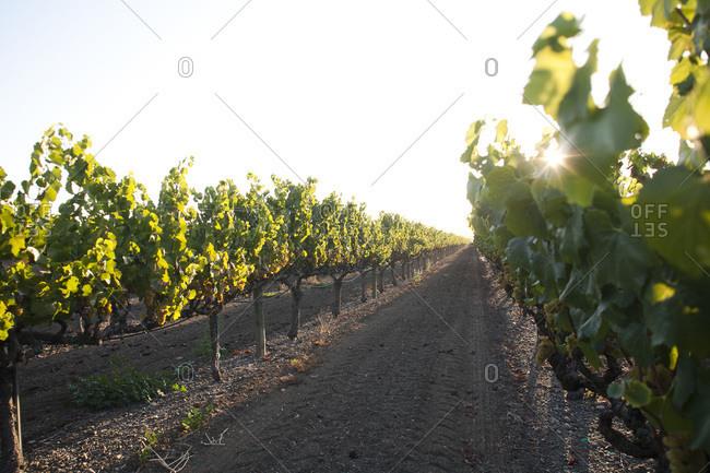 Vineyard in Sonoma County, a famous wine region in California