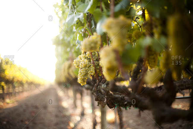 Clusters of Chardonnay grapes in a vineyard in Sonoma County, California