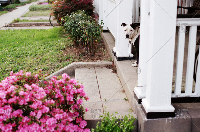 Staffordshire terrier standing on a porch
