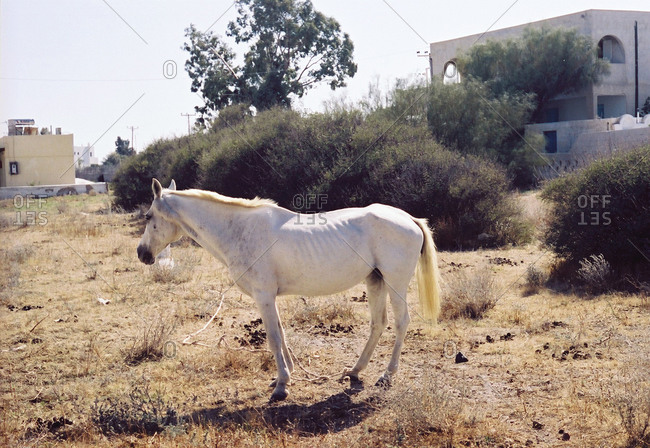 White horse standing in a dry grass field in a Greek town