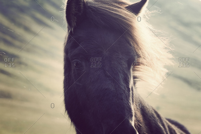 Portrait of a black horse in Iceland