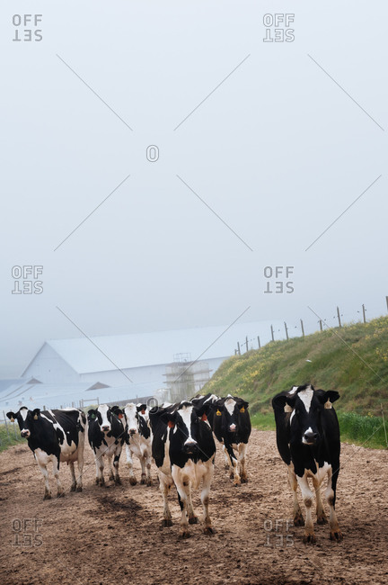 Dairy cows on a historic dairy farm in Point Reyes, California