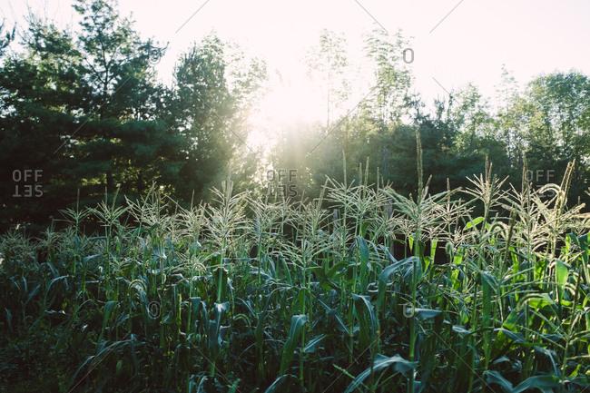Maize field