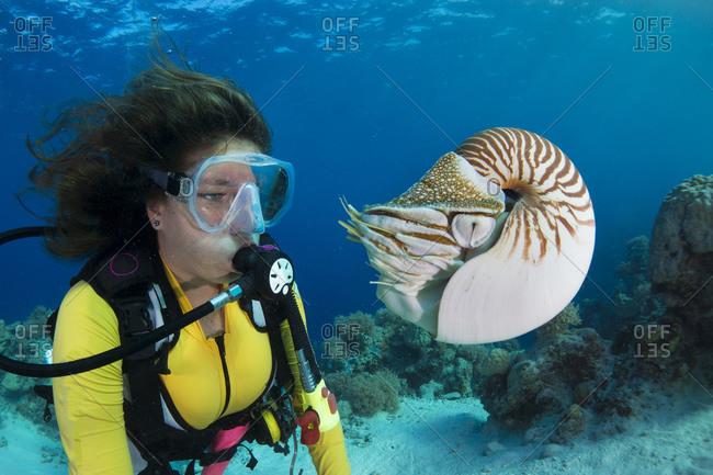 Diver watching Palau nautilus, Nautilus belauensis, Pacific Ocean