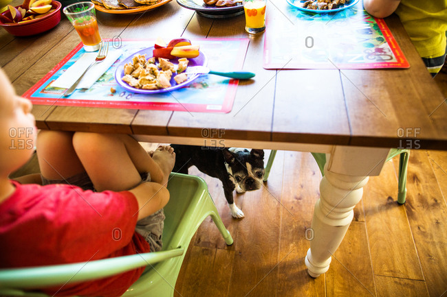 Boston terrier standing under a table