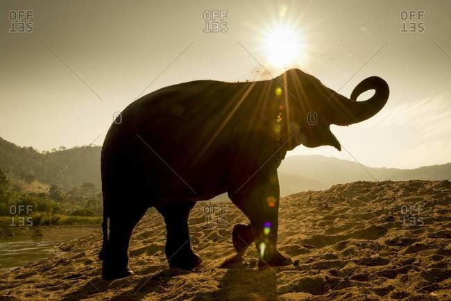 An elephant covers itself with dirt after a sunset bath in a river at the Elephant Nature Park in Chiang Mai, Thailand