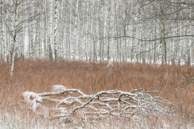 Birch forest at winter, Molndal, Vastergotland, Sweden