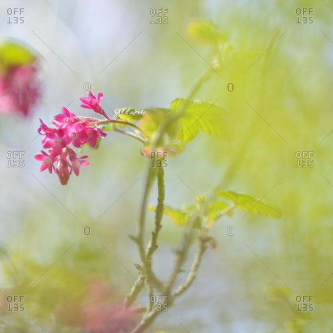 Close-up of pink flower, Blekinge, Sweden