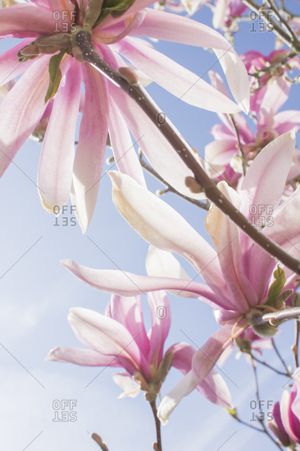 Pink magnolia flowers, close-up