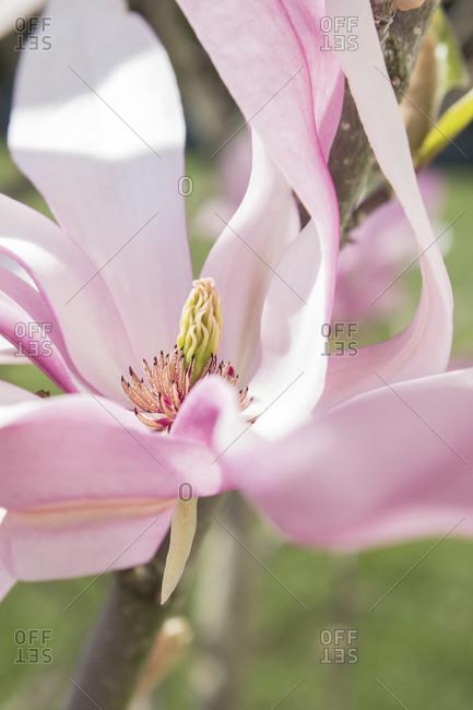 Pink magnolia flower, close-up